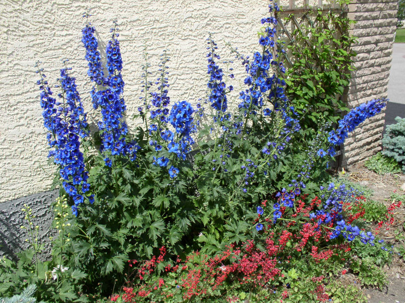 Backyard landscaping ideas on a budget-Delphinium