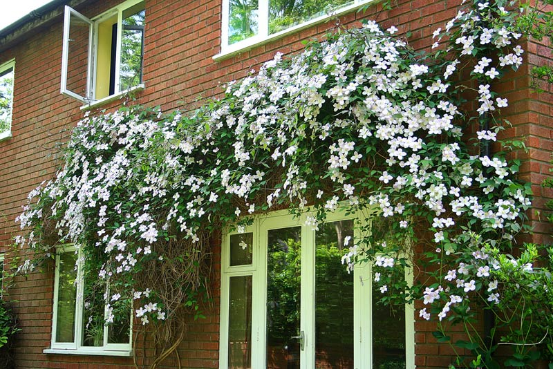 Backyard landscaping ideas on a budget - clematis