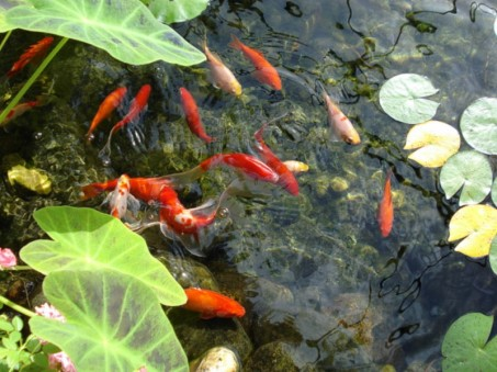 aquatic pond goldfish