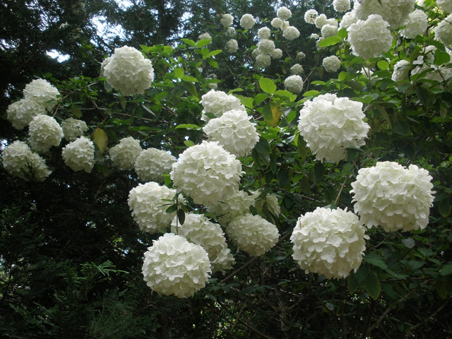 Backyard landscaping ideas on a budget - Viburnum macrophalum
