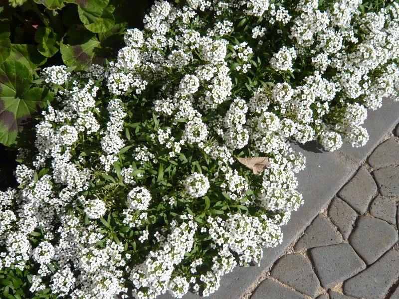 Backyard landscaping ideas on a budget - alyssum